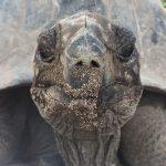 Primo piano di tartaruga sull'isola di Curieuse